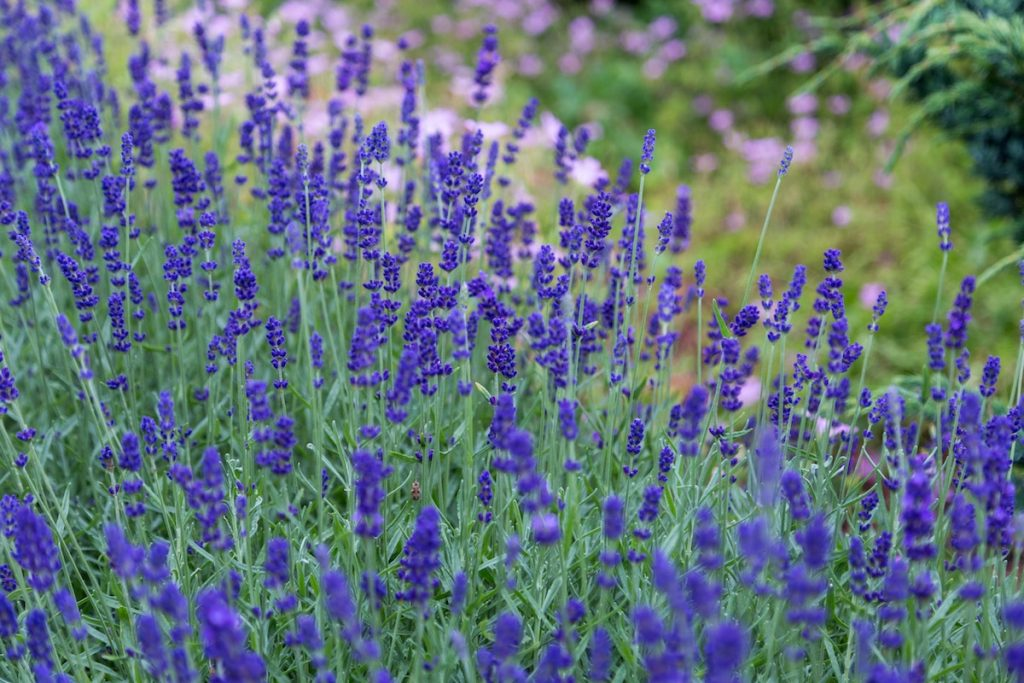 lavender mosquito repelling plant