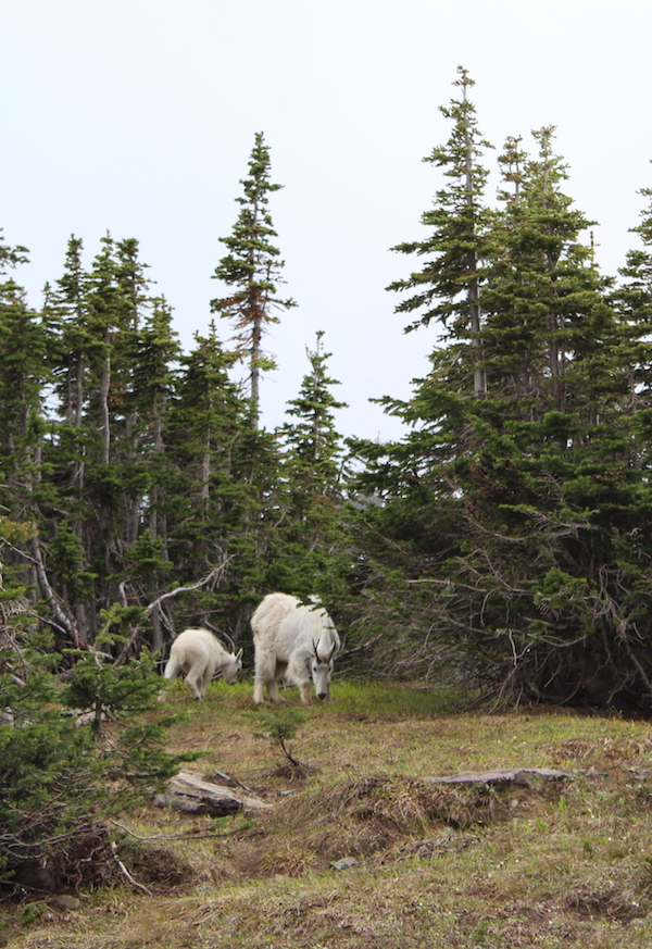 mountain goats on hidden lake overlook trail
